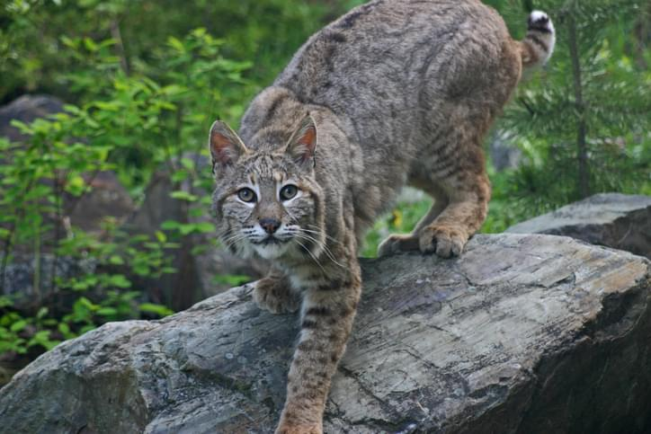 PODCAST – Monday, January 11: Bobcats and Rabies, A Third Grade Quiz, The Heartbreaking Story of Beau Wise