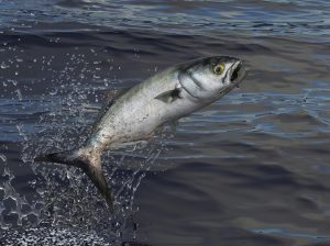 Bluefish jumps out of water 3d render