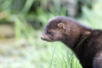 PODCAST – Friday, September 17: Minks Terrorizing Connecticut; The Week In Flubbles; Boss Keith's Top Five