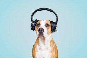Dog in noise cancelling headphones, blue isolated background.