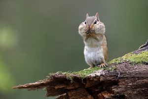 Eastern Chipmunk with its cheek pouches full of food