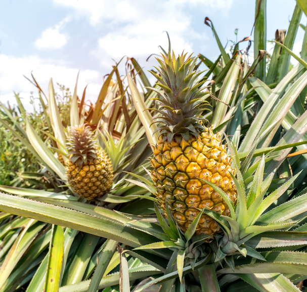 Morning Hack 5/11/2021 The Best Fresh Pineapple Hack Ever!