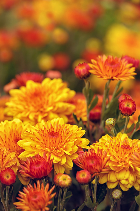 Morning Hack 9/17/2021 Buying Mums? Listen To This First!