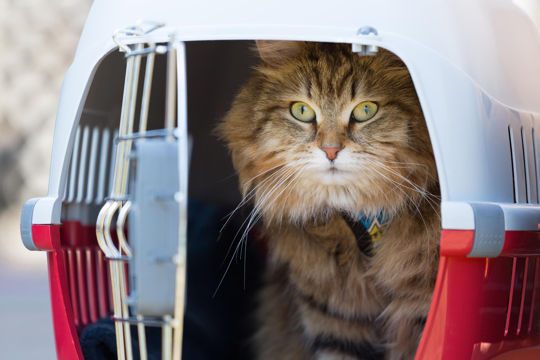 Tabby cat in a red cage
