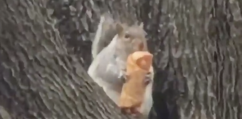 [VIRAL]Squirrel Sitting in a Tree Eating Egg Roll