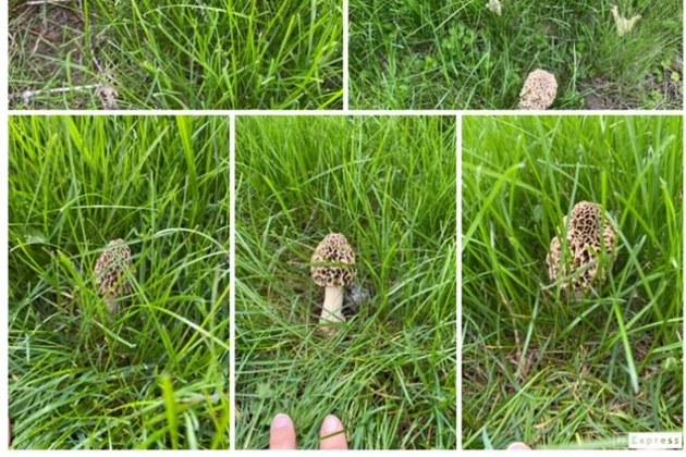 Morel Mushroom Hunting In Peoria