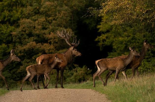 WVEL News/Travel Scope Now: Deer Mating Season Increases Illinois' Vehicle Crash Danger