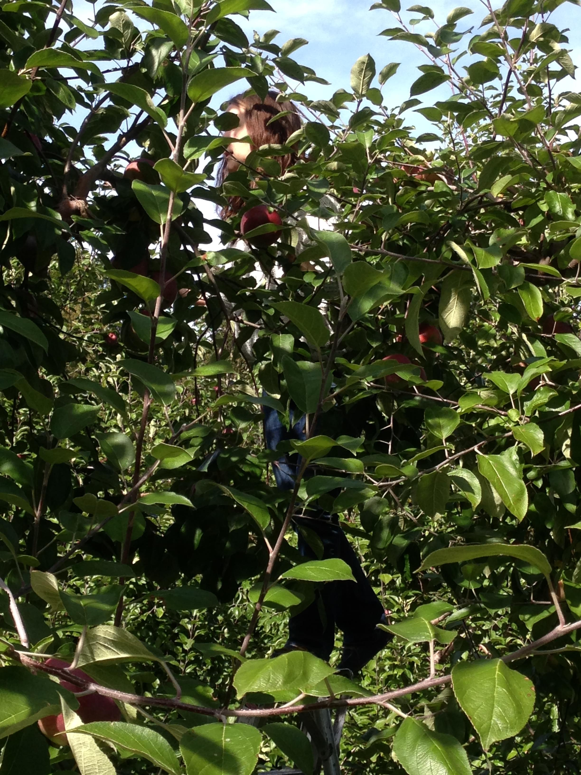 Apple Picking- It's What ALL of CNY Did This Weekend