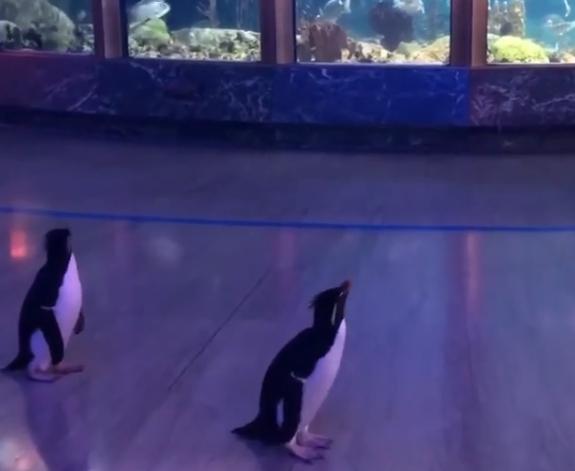 WATCH: Penguins Tour The Aquarium