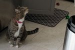 Why Tabby Cats Have Stripes