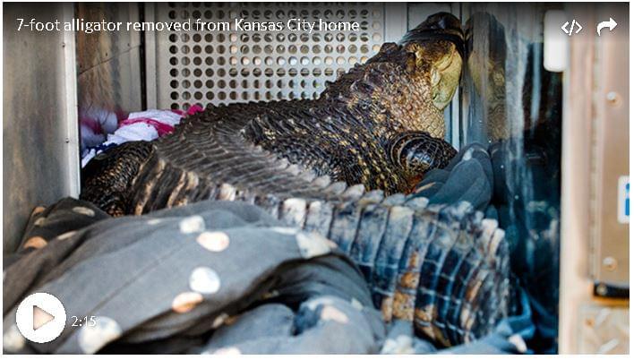 7-foot Alligator Found in KC Home