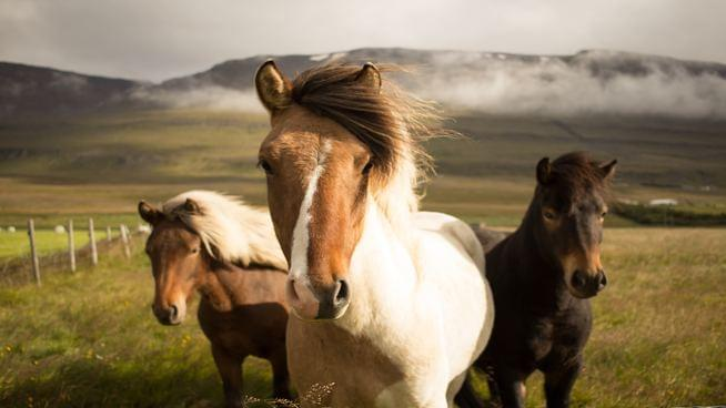 Miniature Horses Allowed To Fly As Service Animals, Department of Transportation Announces