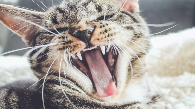 26-Pound Cat Becomes Internet Sensation