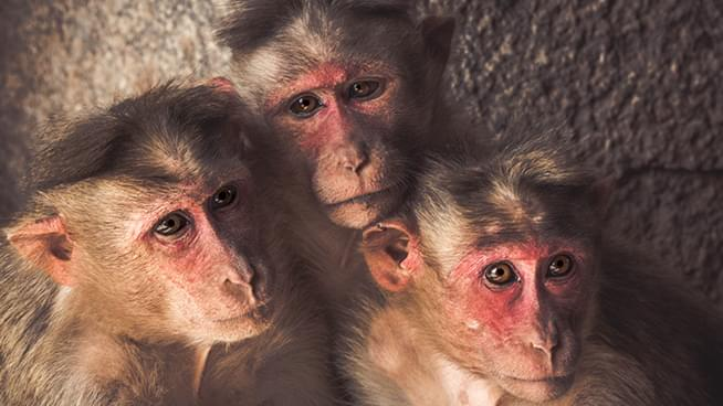 September Vaccine Is a Possibility as 6 Monkeys Test Negative After Heavy Exposure to COVID-19