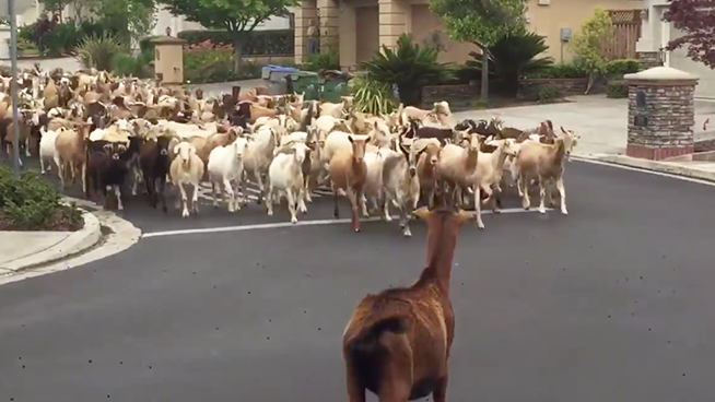 Hundreds of Goats Escape, Run Amok in San Jose
