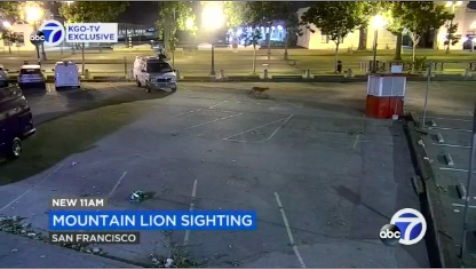 Mountain Lion Spotted Blocks Away From KGO Studio