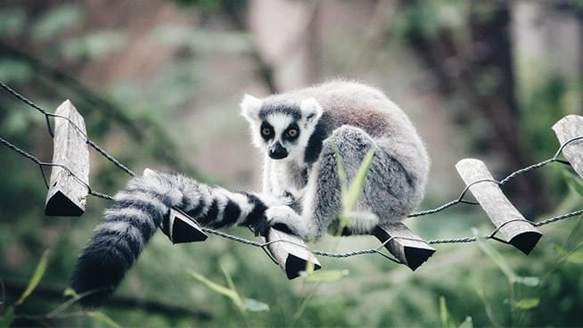 An Endangered Lemur that went Missing from SF Zoo Turned up at a Church Playground