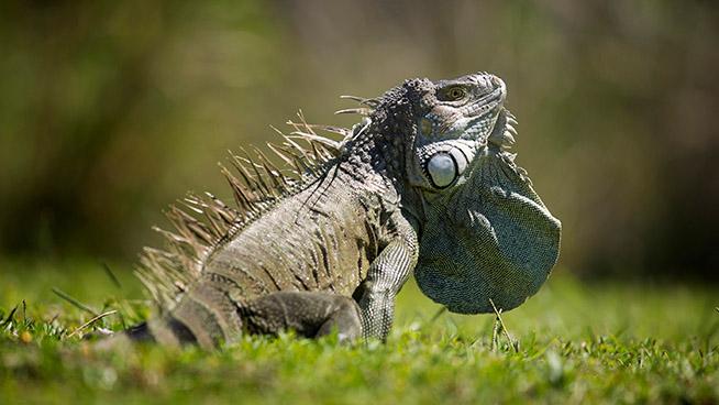 Friday Fabulous Florida – An Iguana Was Found Where?