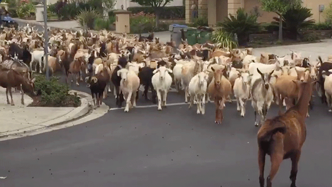 Herd of 200 goats escape and roam streets of San Jose