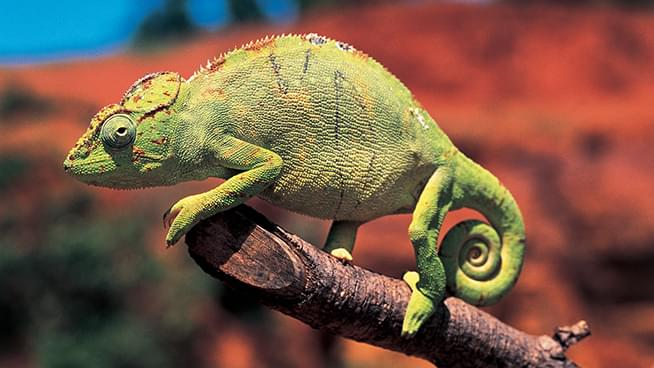 This Tiny Little Chameleon Has Giant What?