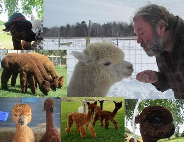 Ed and Amelia and their alpacas