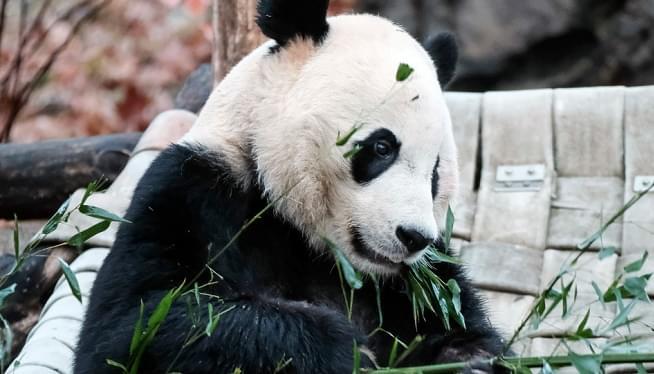 Bei Bei, An American-Born Panda, Leaves Washington For China