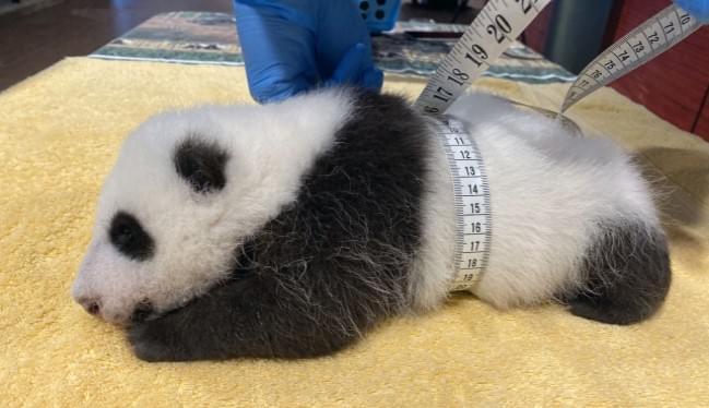 National Zoo: New Panda Cub Is A Growing Boy