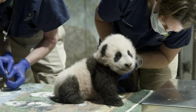 National Zoo panda cub named Xiao Qi Ji or 'Little Miracle'