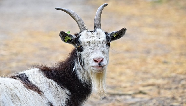 Police: Goat 'arrested' after report of break-in