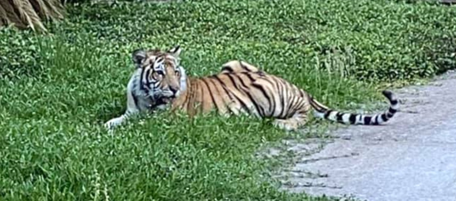 Houston's Missing Tiger Has Been Found
