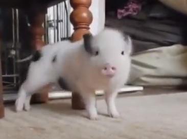 """This Little Piggy Twerked, Twerked, Twerked To Rihanna's """"Work"""" LOL!! [VIDEO]"""