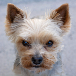 Hero Yorkie Saves 10-year-old From Coyote