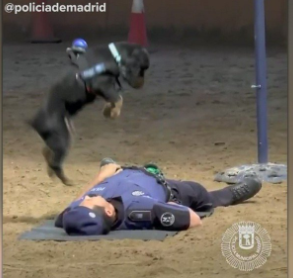 """Police Dog in Spain performs """"CPR"""" during training."""