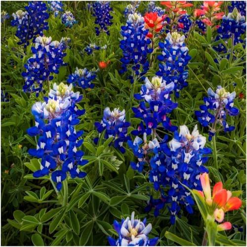 Looks Like A Great Spring For The Bluebonnets