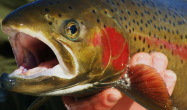 Idaho Fish and Game won't release Steelhead into Boise River