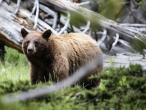 Woman charged in Yellowstone National Park case involving grizzly sow and cubs