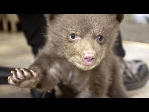 Hear baby bear make cutest noise