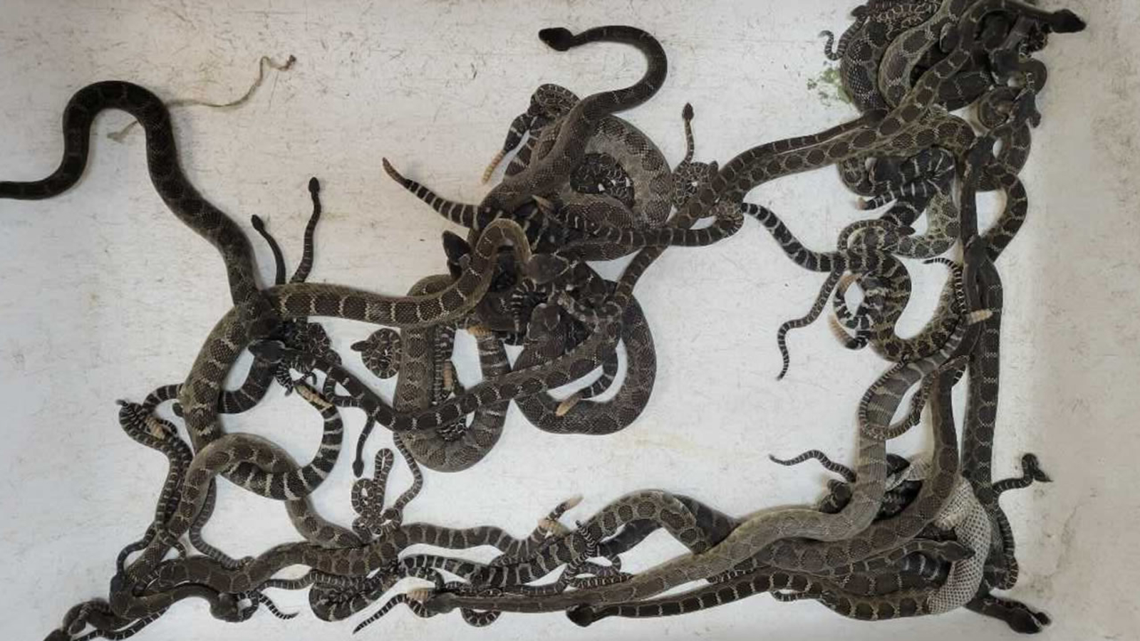 WATCH: A Woman Finds 92 Rattlesnakes Under Her House