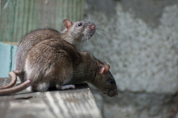 """Los Angeles is on its way to becoming the nation's """"rattiest"""" city but new rat contraceptive is being promoted to control and reduce the rat population"""