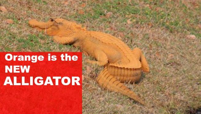 Orange is the New Alligator: Yes, that gator is orange