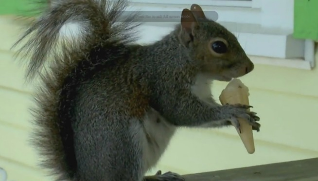 WATCH – SQUIRREL EATING TINY ICE CREAM CONE