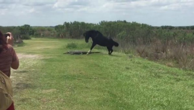 VIDEO: Wild Horse vs Alligator …of course, it's Florida