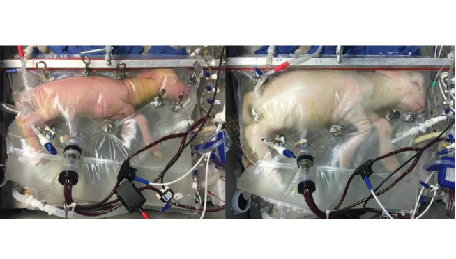 Artificial Womb Successfully Grew Baby Sheep