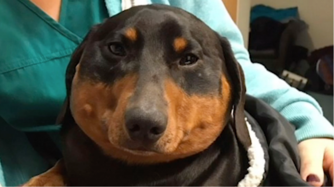 The Wiener Dog who got inflated, deflated and trotted on