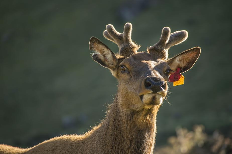 These deer go buck wild