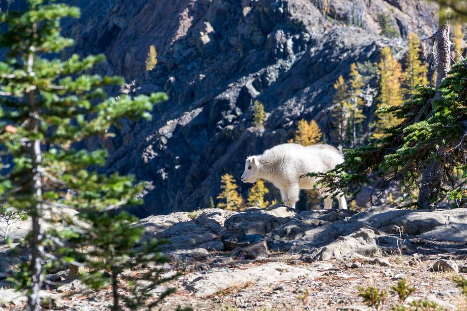 Mountain goats take over town amid lockdown