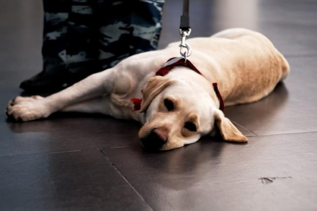 Dogs training to detect COVID-19