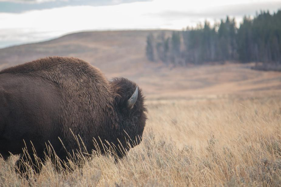Grizzly Bear vs Bison, nature is crazy!