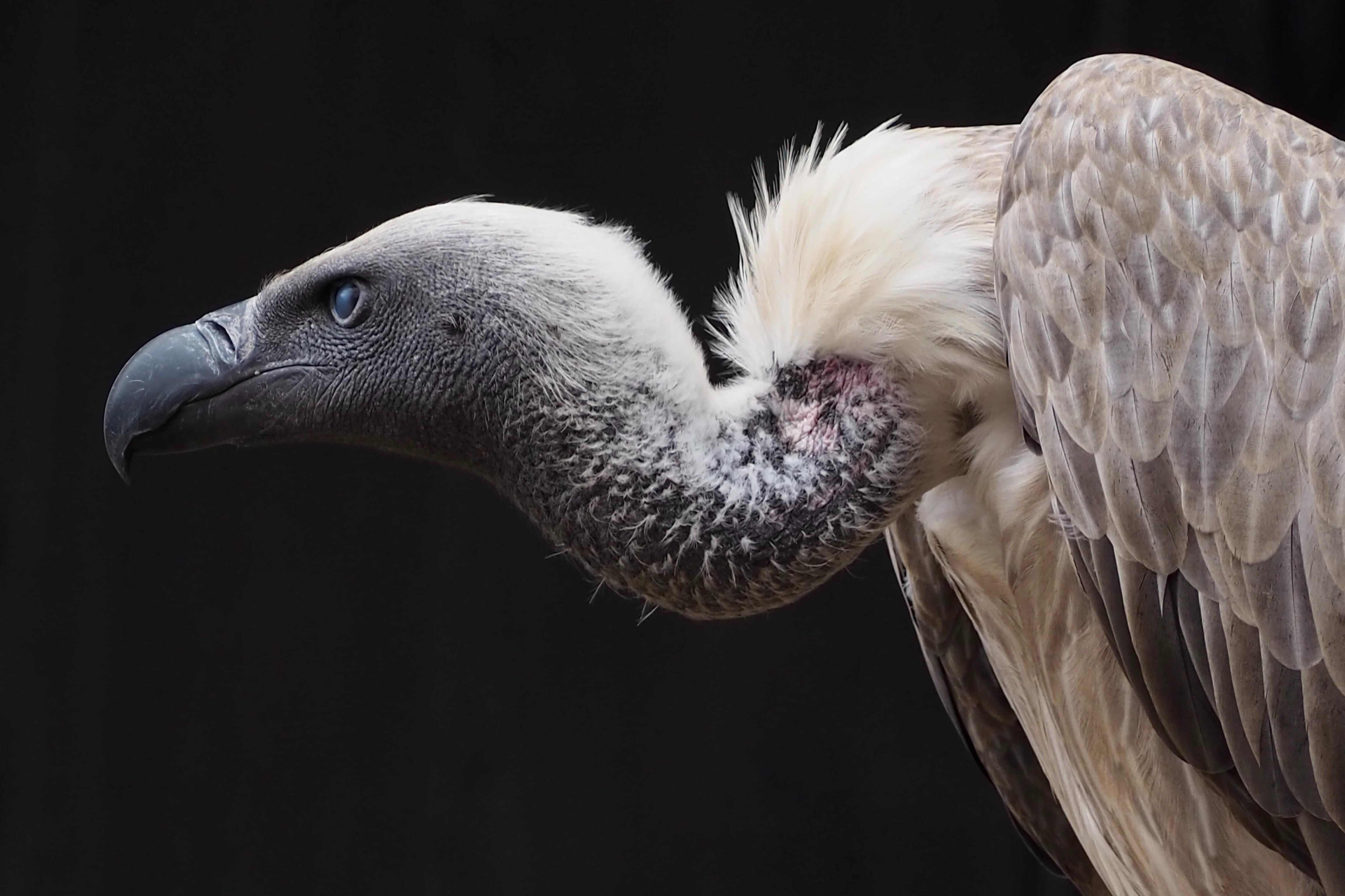 Vulture lands on paraglider mid-flight!