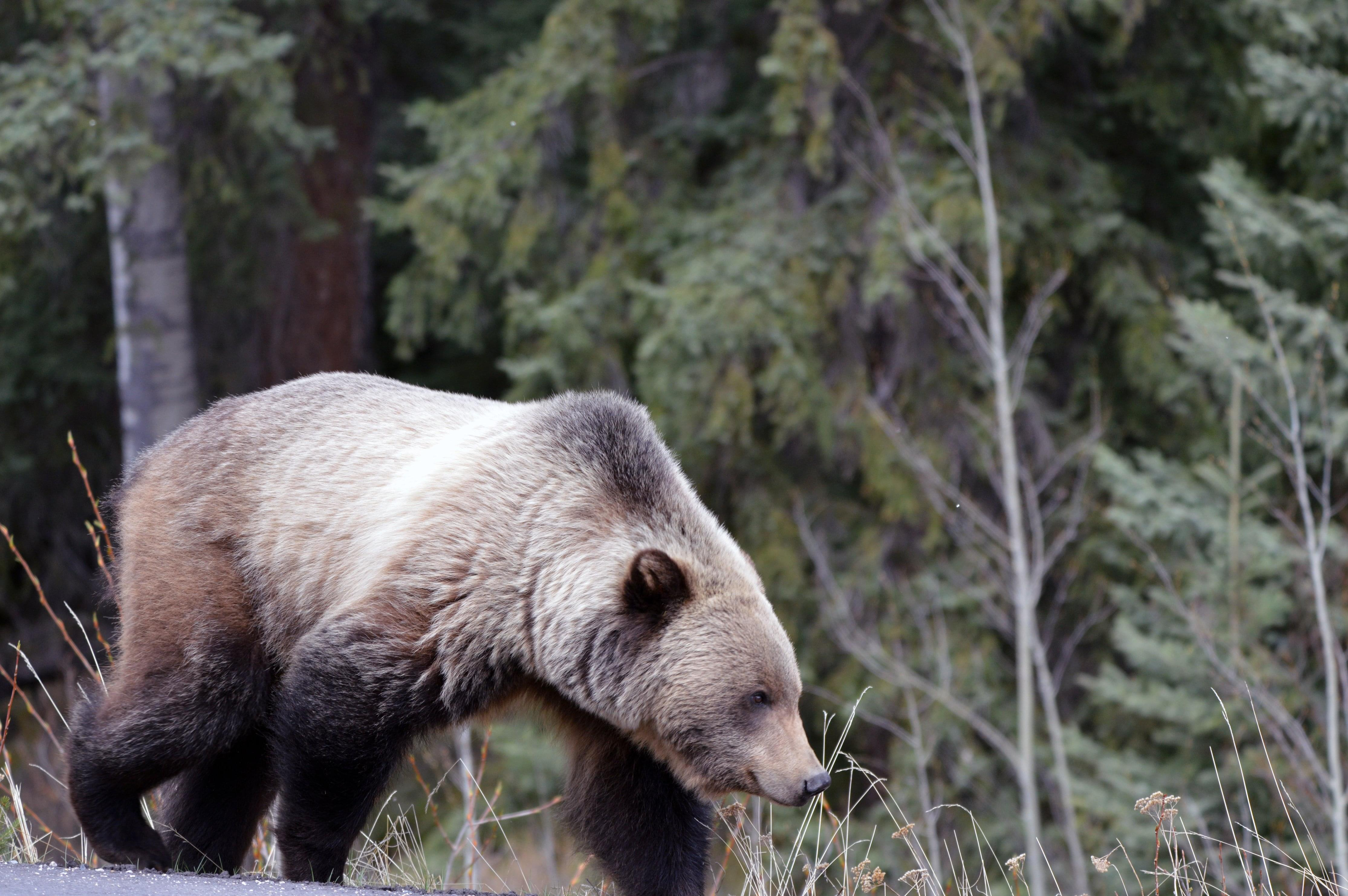 Brown Bear Causes Big Trouble